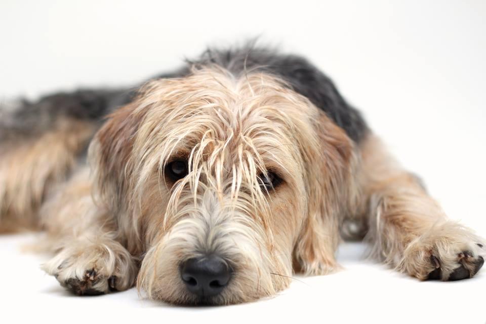 bosnische barak brak sjors hond
